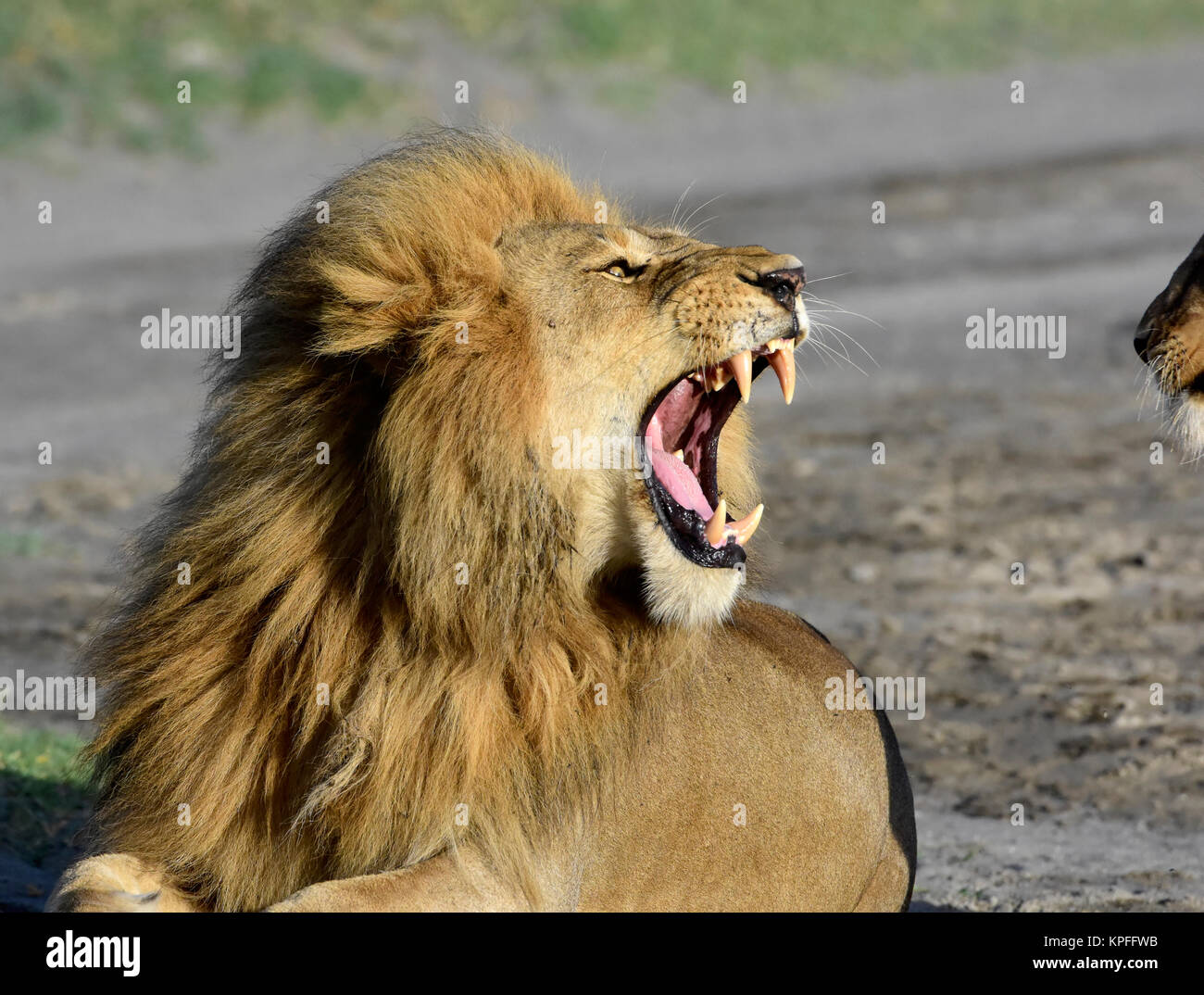 Wildlife sightseeing in one of the prime wildlife destinations on earht -- Serengeti, Tanzania. Male lion snarling - Stock Image