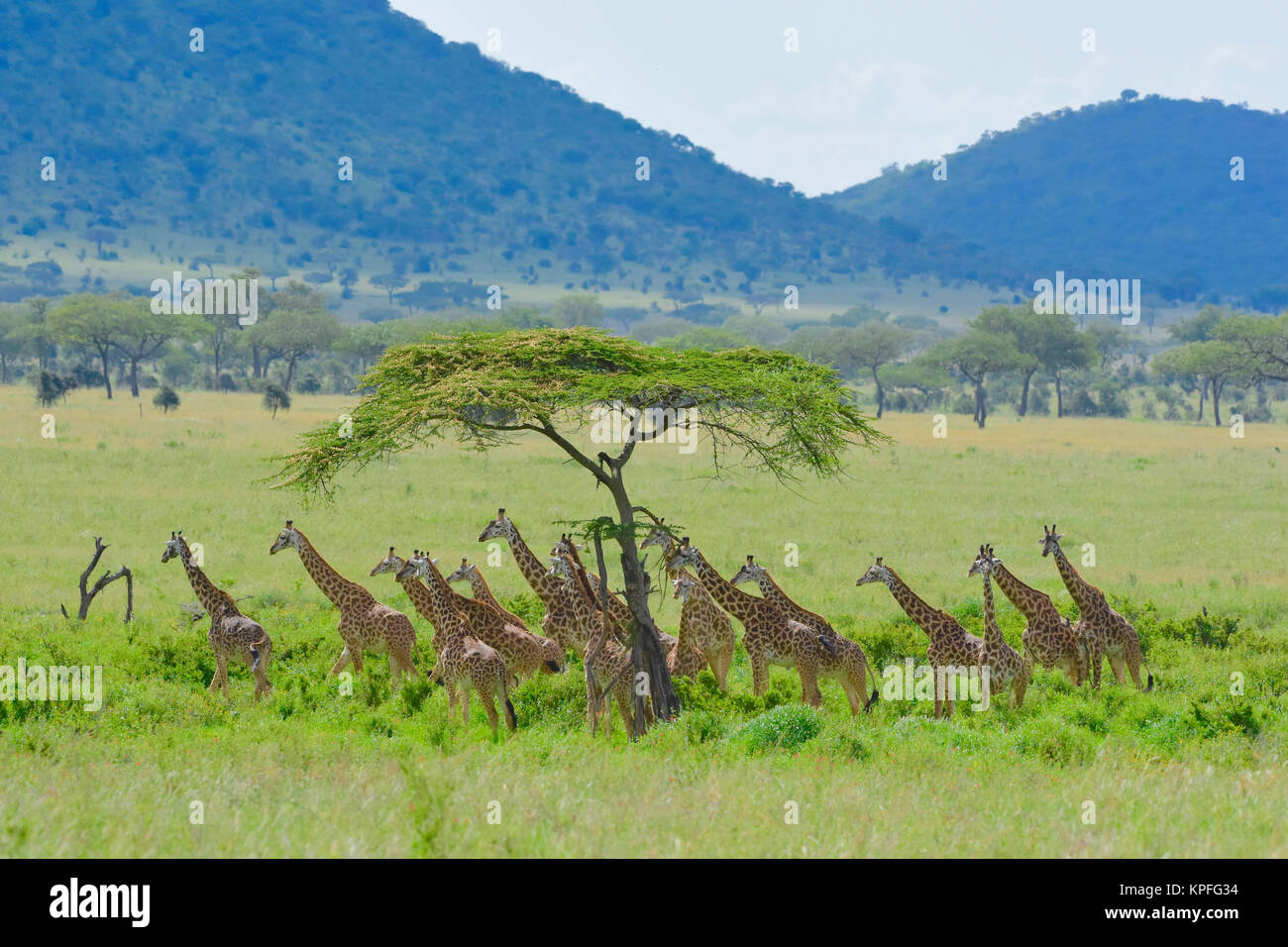 Wildlife sightseeing in one of the prime wildlife destinations on earht -- Serengeti, Tanzania. Big herd of giraffe. - Stock Image