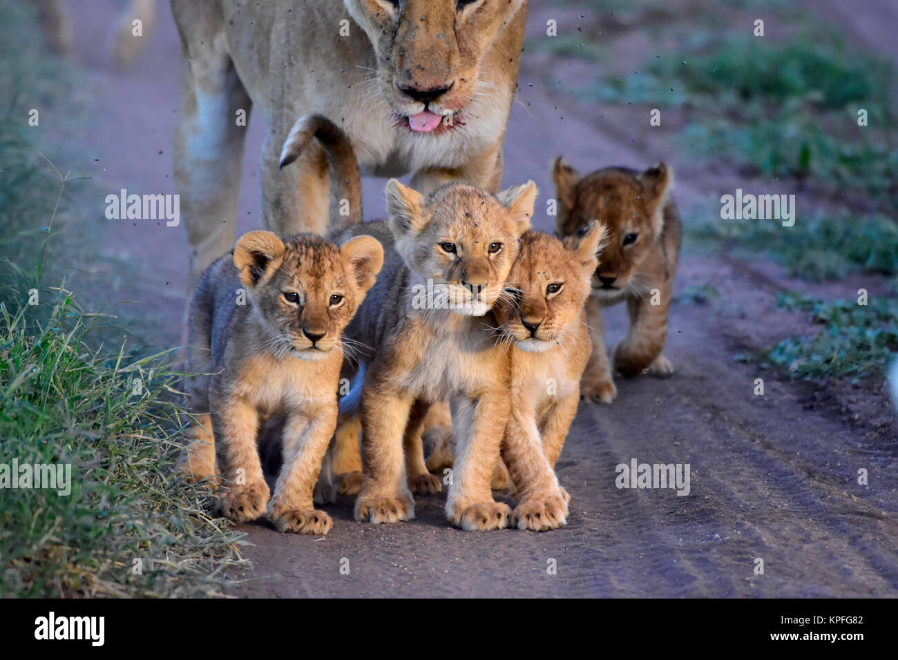 Wildlife sightseeing in one of the prime wildlife destinations on earht -- Serengeti, Tanzania. Lioness with 5 small Stock Photo