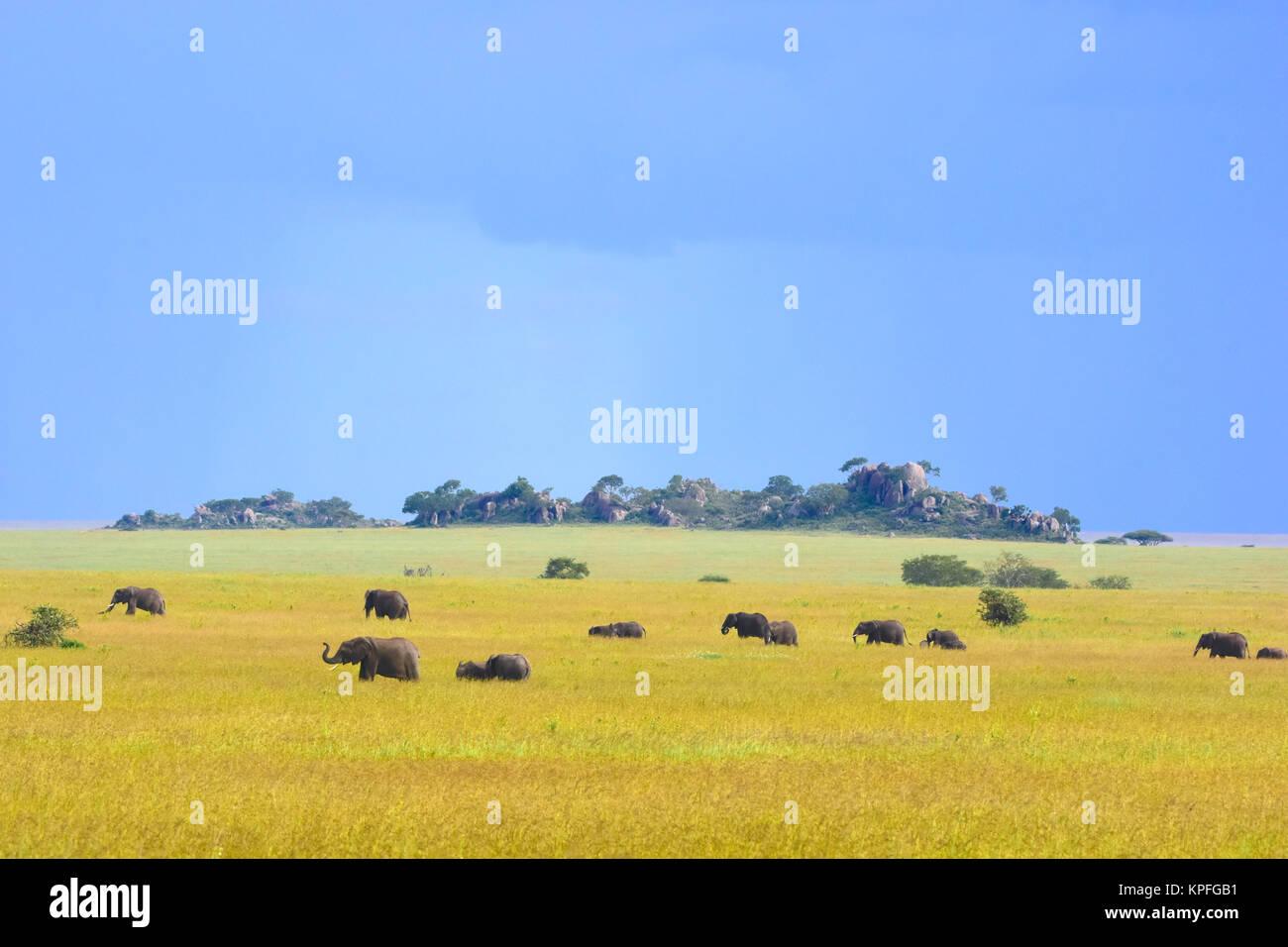 Wildlife sightseeing in one of the prime wildlife destinations on earht -- Serengeti, Tanzania. Herd of elephants - Stock Image