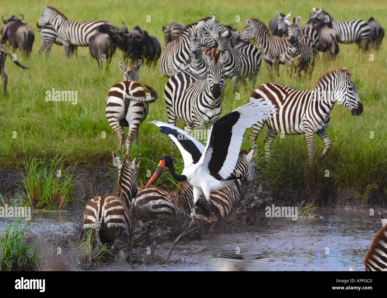 Wildlife sightseeing in one of the prime wildlife destinations on earth, Serengeti, Tanzania. stampeding zebra at - Stock Image