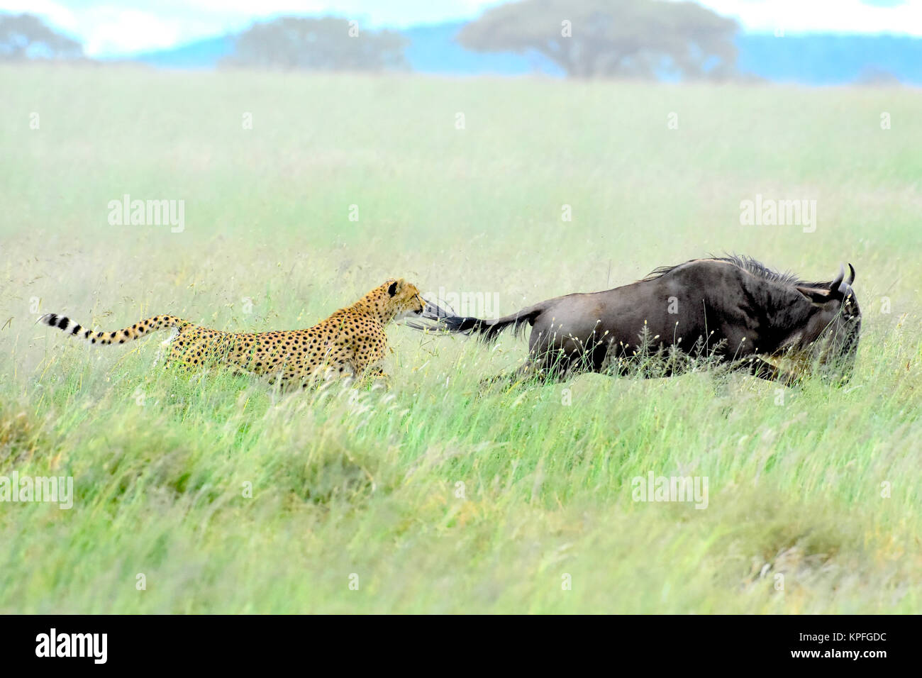 Wildlife sightseeing in one of the prime wildlife destinations on earht -- Serengeti, Tanzania. Cheetah chasing - Stock Image