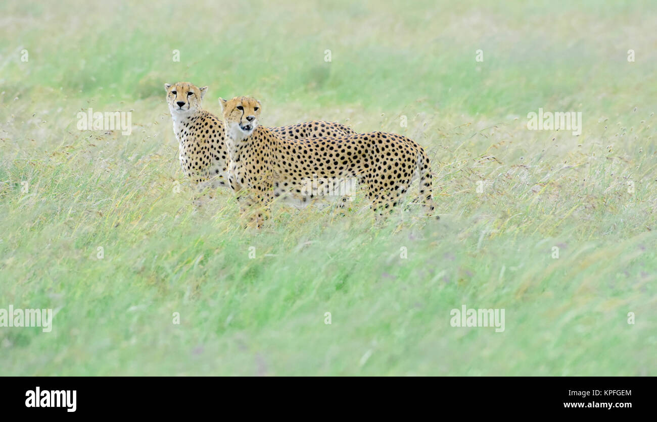 Wildlife sightseeing in one of the prime wildlife destinations on earht -- Serengeti, Tanzania. Two male cheetahs - Stock Image