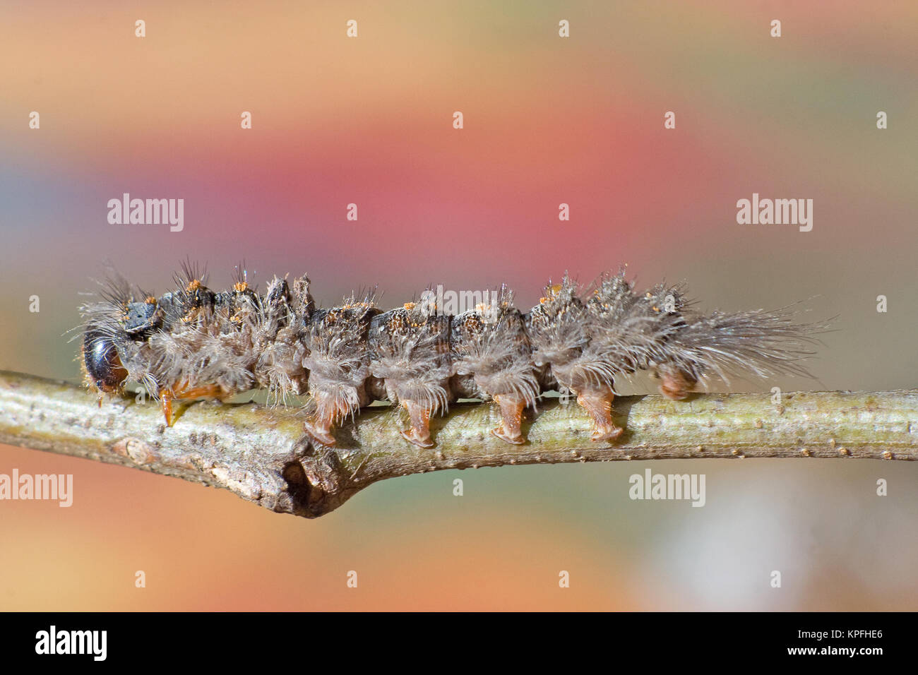 Hairy caterpillar on a twig - Stock Image