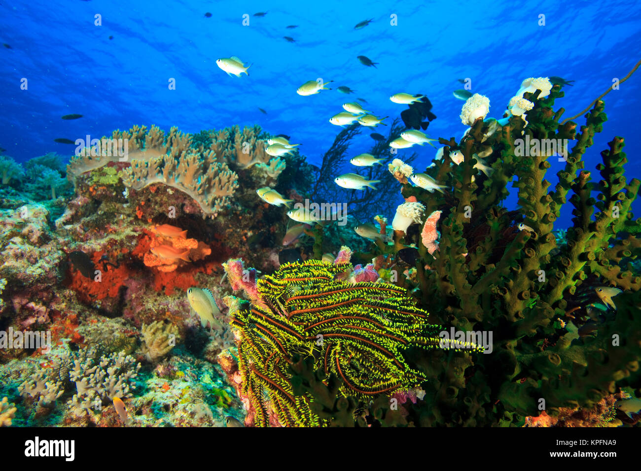 Bluegreen Chromis (Chromis virida) near Tubastrea Coral (Tubastrea micrantha) near Lewolin Village, Selat Boleng - Stock Image