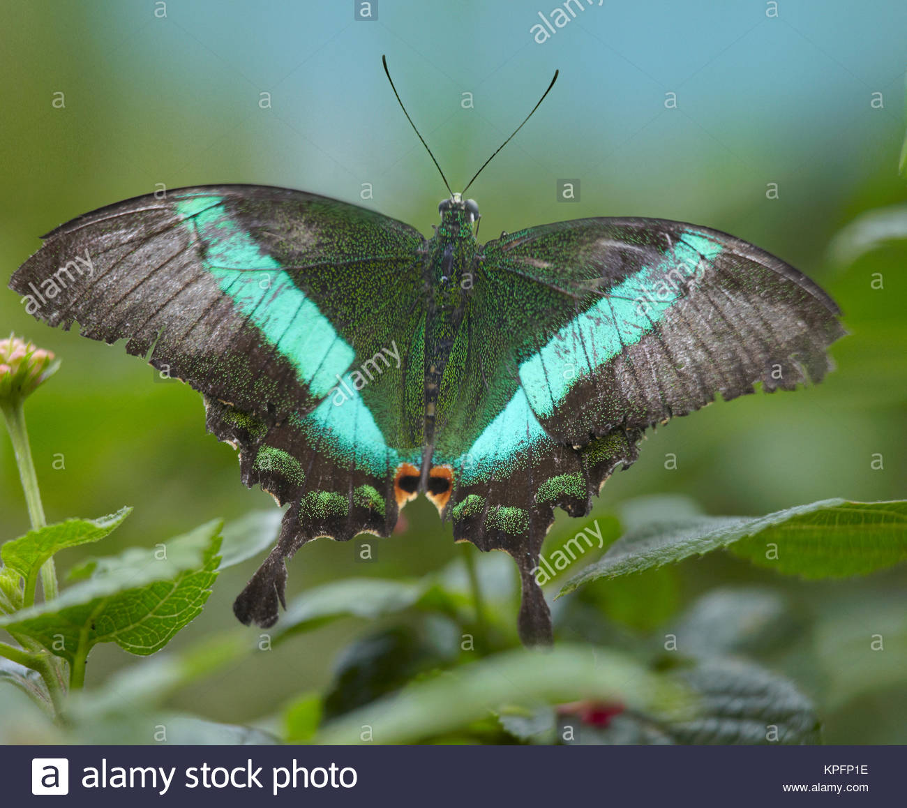 Emerald Swallowtail butterfly (Papilio Palinurus) Philippines (Large format sizes available) - Stock Image