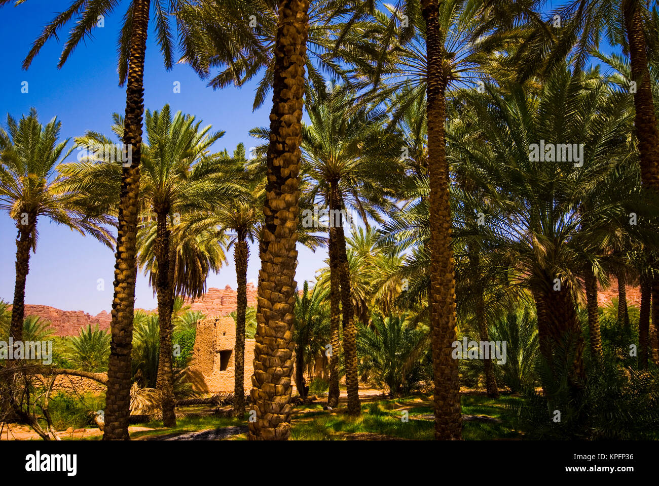 Saudi Arabia, Al-Ula date palm trees in the oasis and old houses - Stock Image