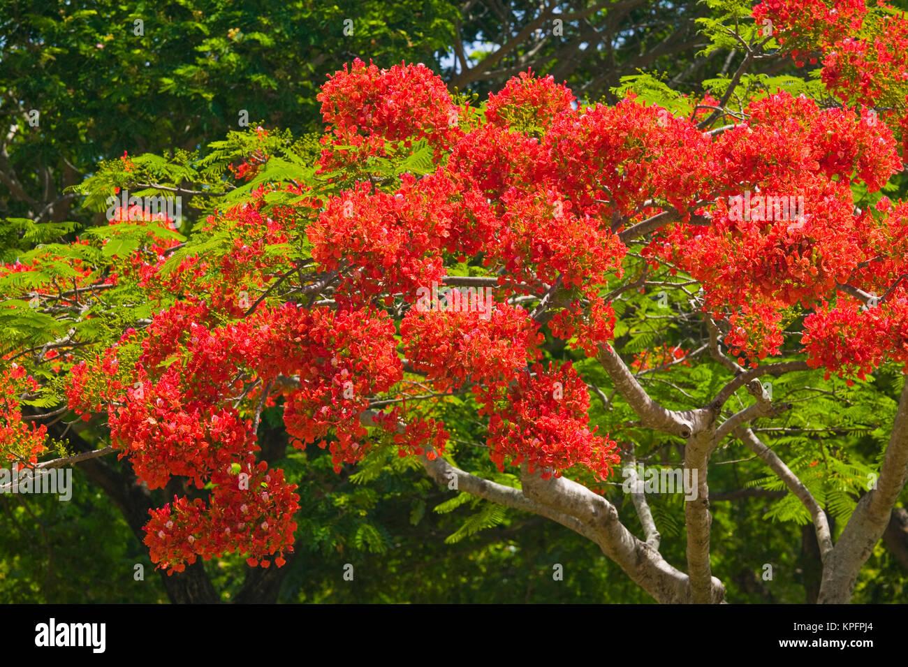 Australia, Queensland, North Coast, Port Douglas. Flamboyant Trees / Springtime. - Stock Image