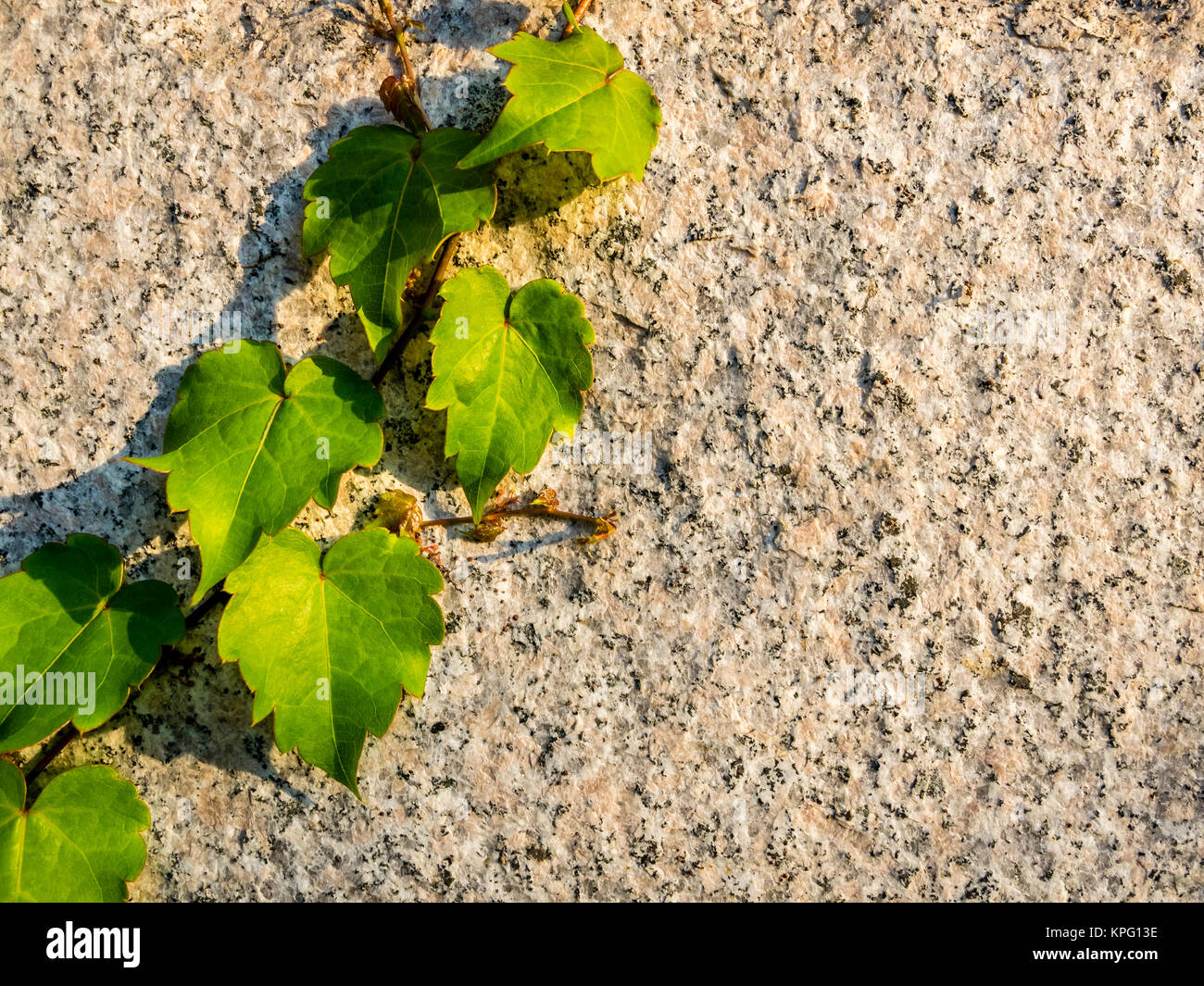 Juicy green grape leaves on the stone wall. Natural summer background template - Stock Image