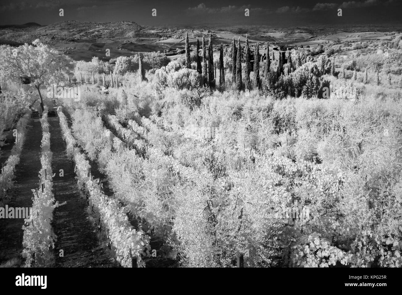 Infra Red Black & White of vineyards, Montepulciano, Italy, Tuscany - Stock Image