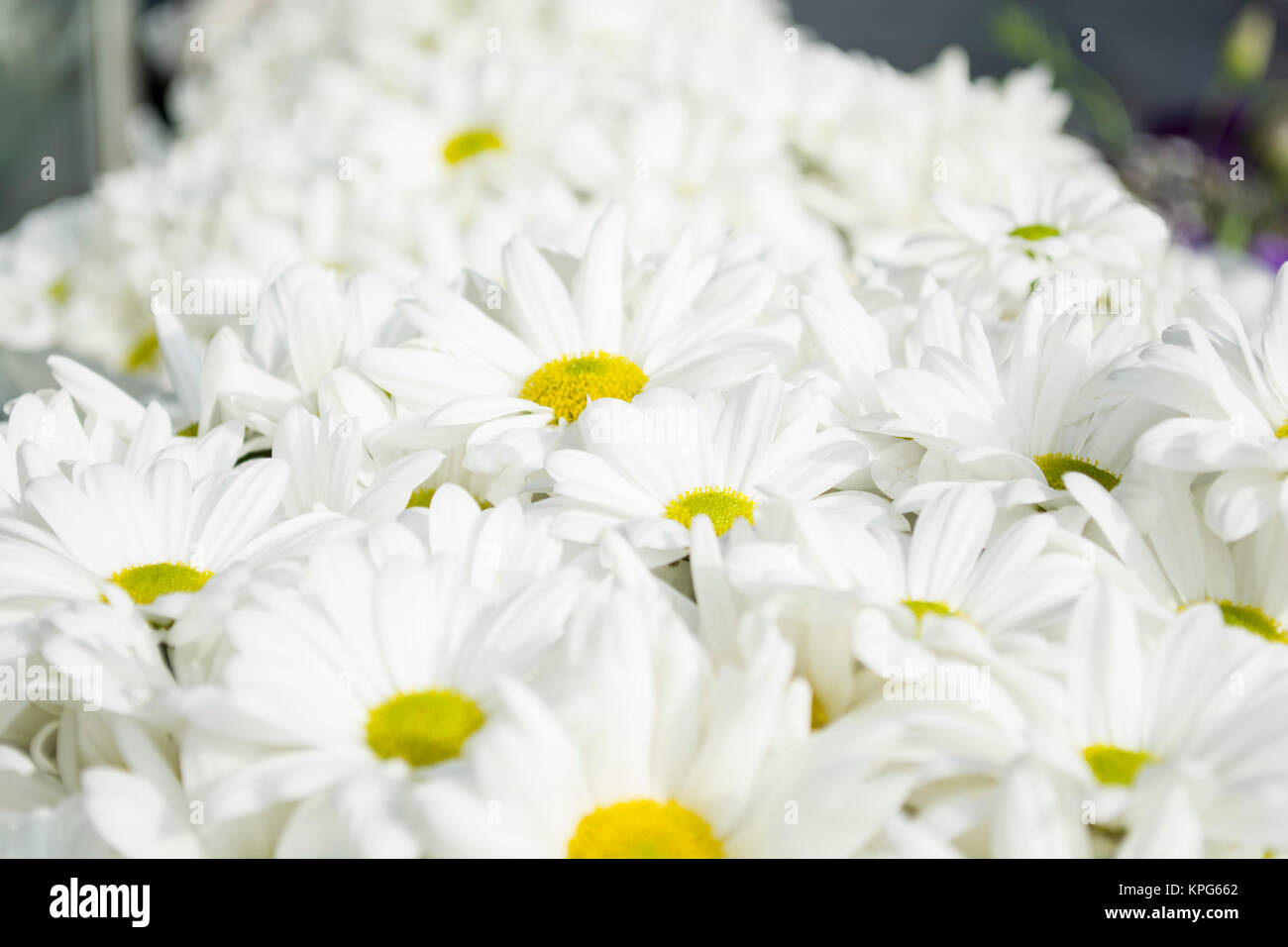 Fresh Paper Daisy Flowers Stock Photos Fresh Paper Daisy Flowers