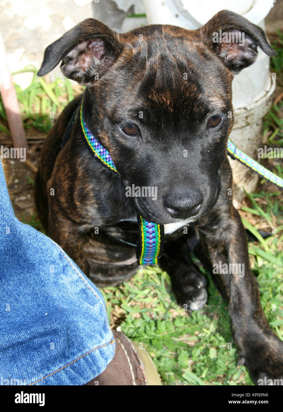Staffie puppy - Stock Image