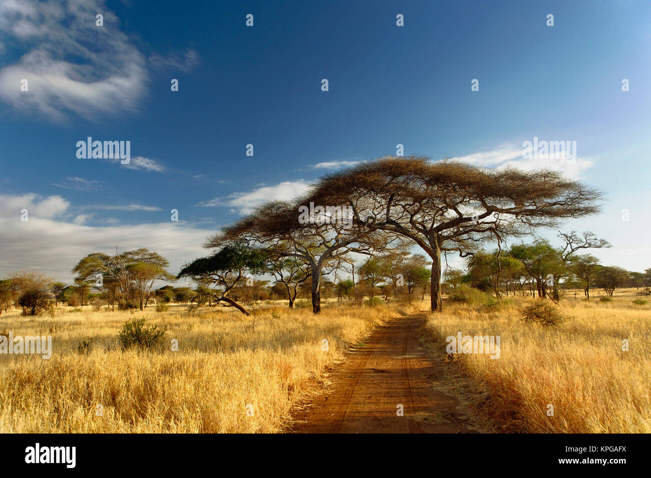 Primitive dirt roadway and acacia trees in late afternoon light, Tarangire National Park, Tanzania - Stock Image