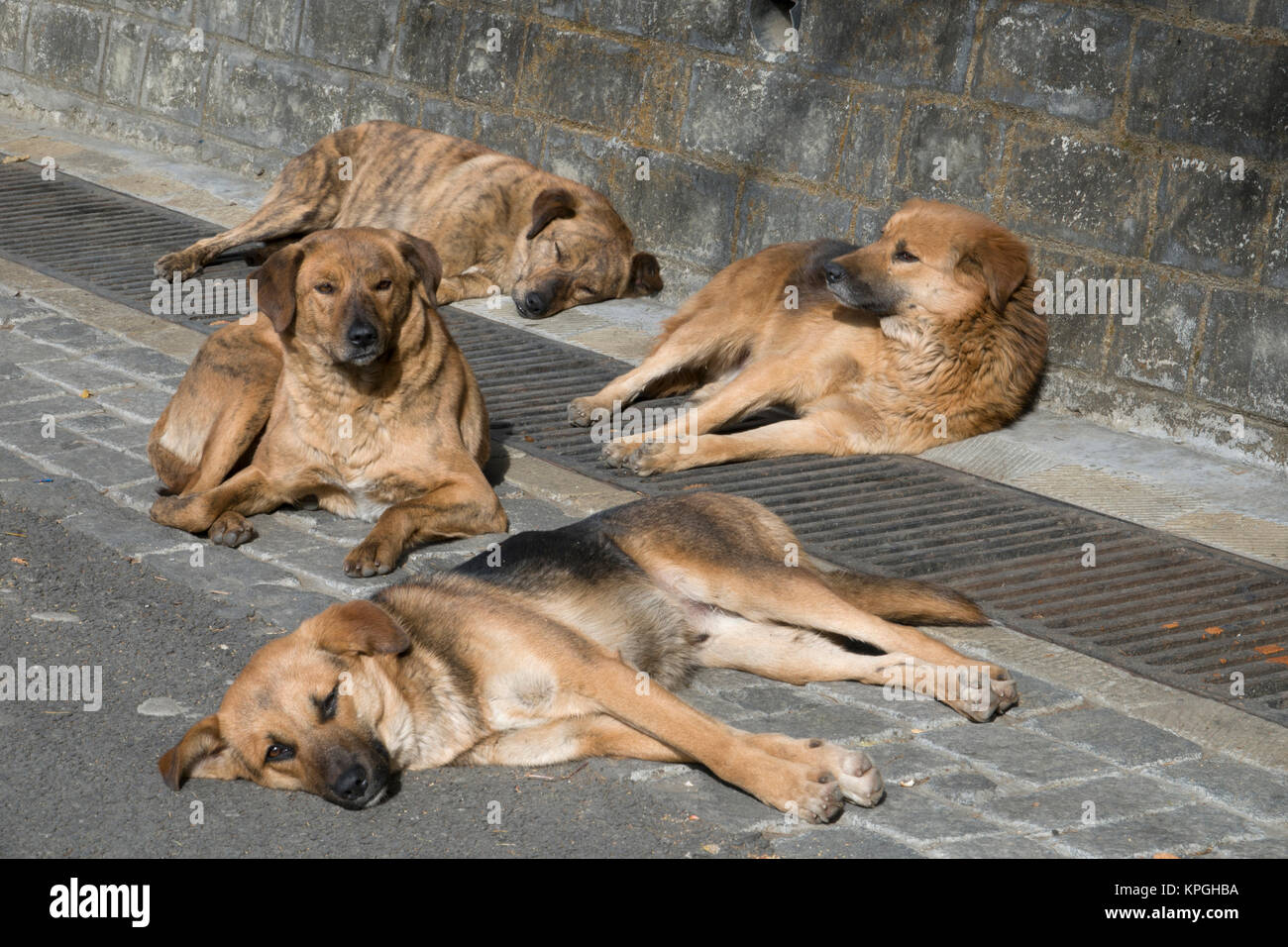 Pack of healthy looking street dogs relaxing in the sun in Shimla, India - Stock Image