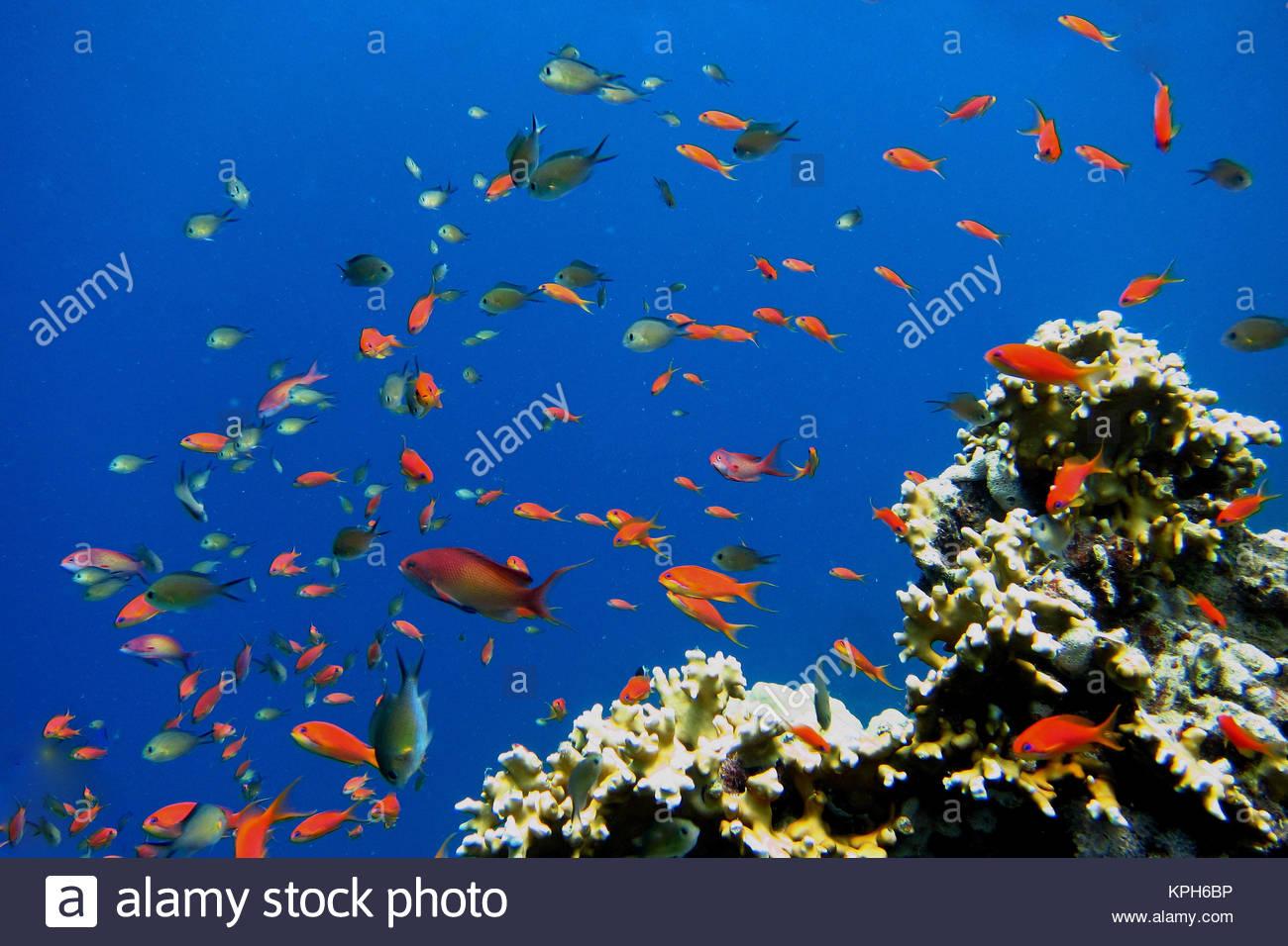 Viele bunte kleine fische im blauen wasser des roten for Kleine fische
