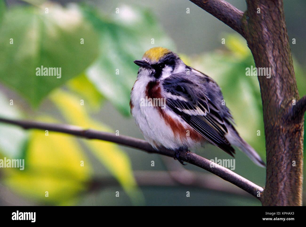 Chestnut-sided Warbler (Dendroica pensylvanica) Stock Photo
