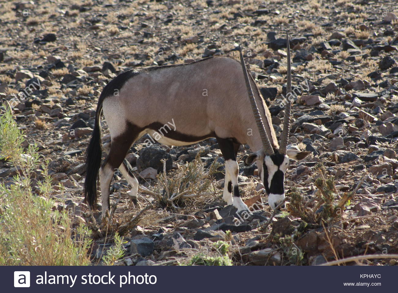 Oryx grazing among the scant vegetation in the NamibRand Nature Reserve, Namibia - Stock Image