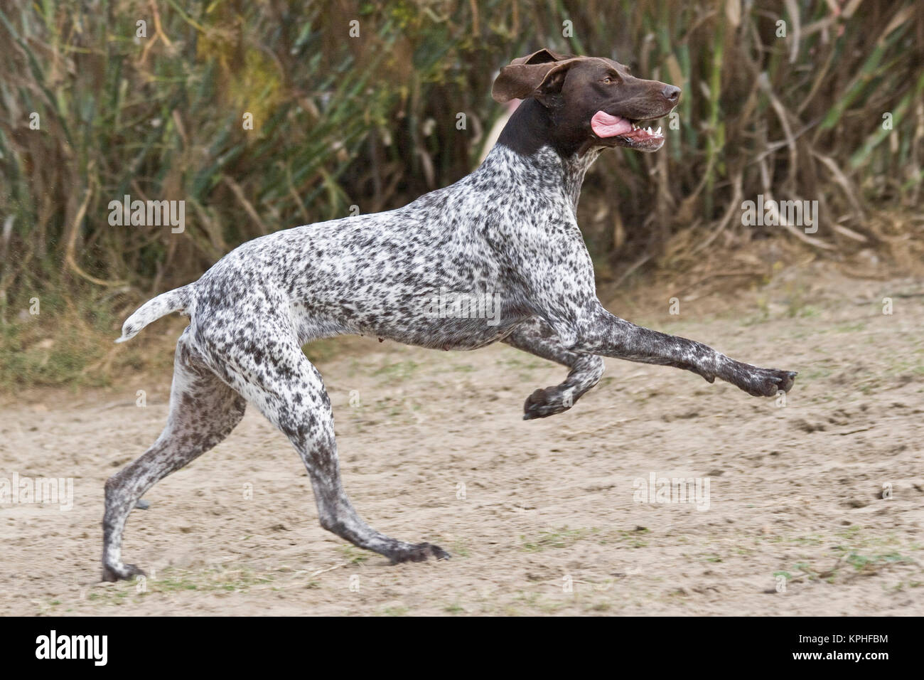 A German Shorthaired Pointer running and jumping. - Stock Image