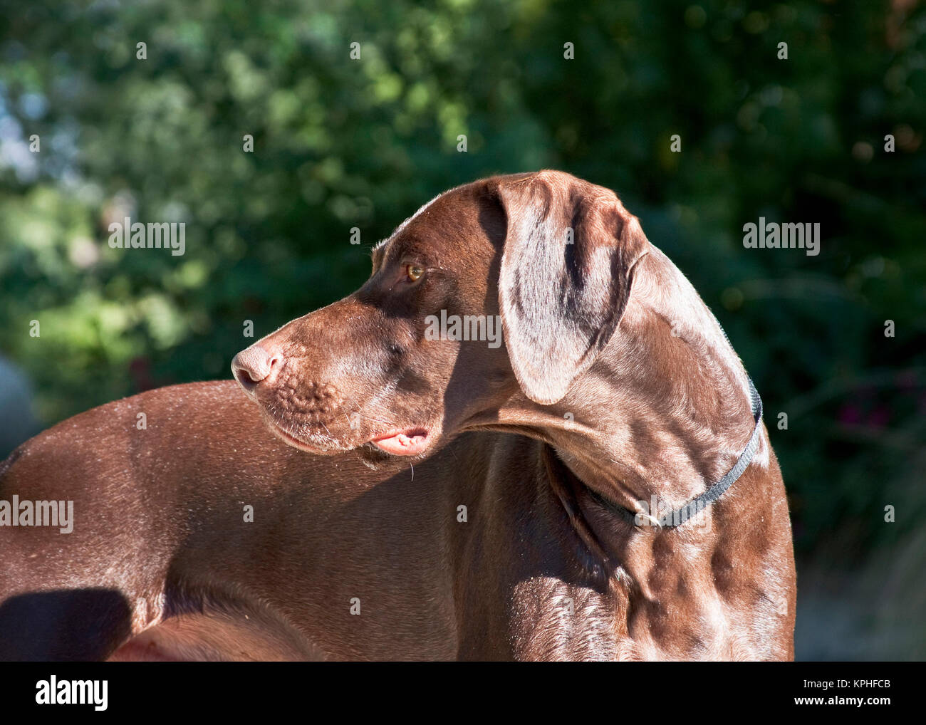 A German Shorthaired Pointer looking over his shoulder. - Stock Image