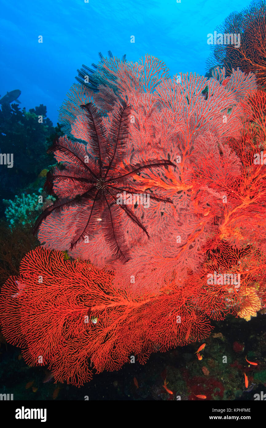 Pristine Gorgonian Sea Fans and crinoids, Bligh Water, Viti Levu, Fiji, South Pacific Stock Photo