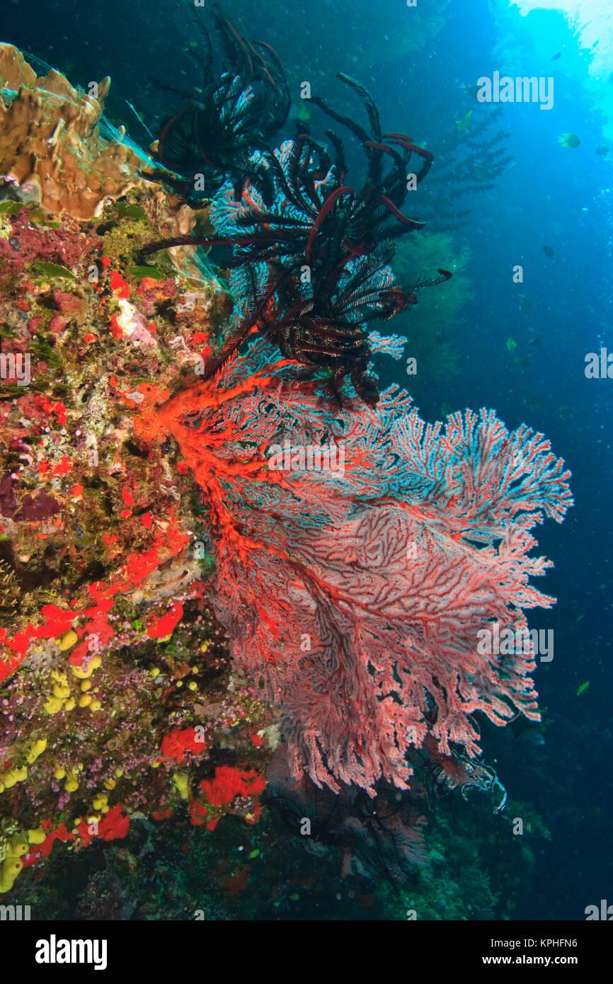 colorful Gorgonian Sea Fans & Crinoids, Bligh Water, Viti Levu, Fiji, South Pacific Stock Photo