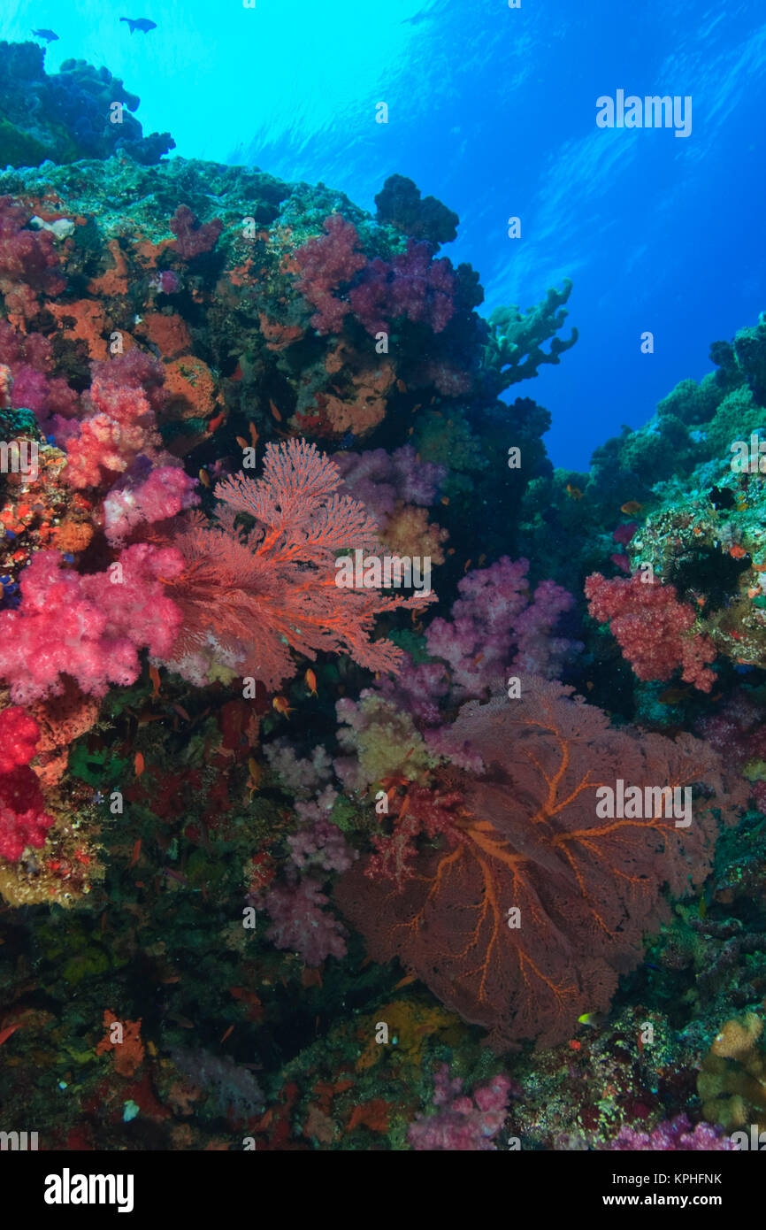vibrant & healthy coral reef, multi-color soft corals (Dendronepthya sp.), Gorgonian Sea fans, Bligh Water, Viti Stock Photo