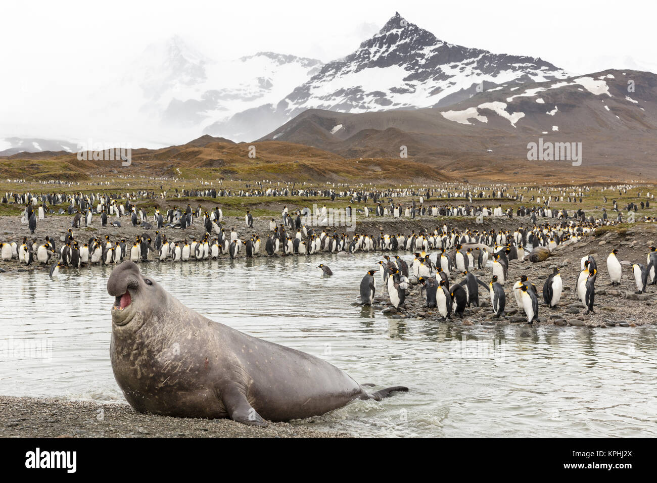 Elephant seal and king penguins at St Andrews Bay, South Georgia Island - Stock Image