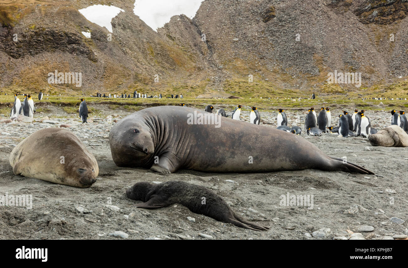 Male and female elephant seals with seal pup on the beach shingle at St Andrews Bay, South Georgia Island - Stock Image