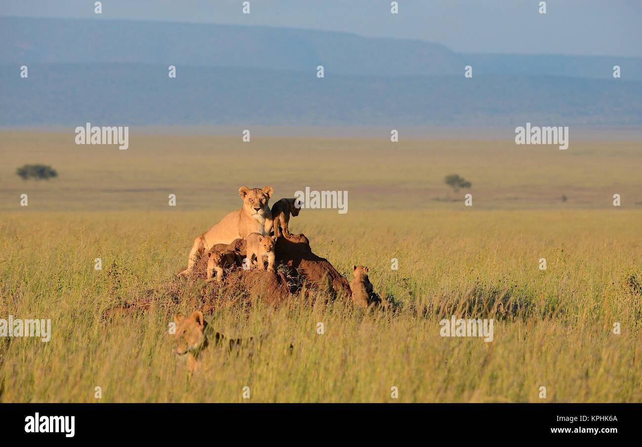 Lioness with cubs resting on anthill on grassland plains of Maasai Kopjes near Seronera, Serengeti, Tanzania Stock Photo
