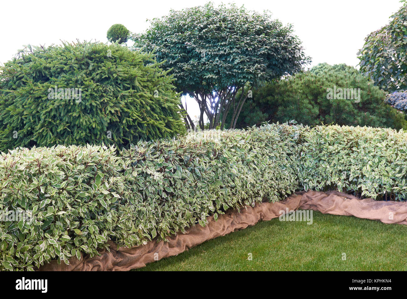 Lawn, green fence and variation of coniferous shrubs in the garden - Stock Image