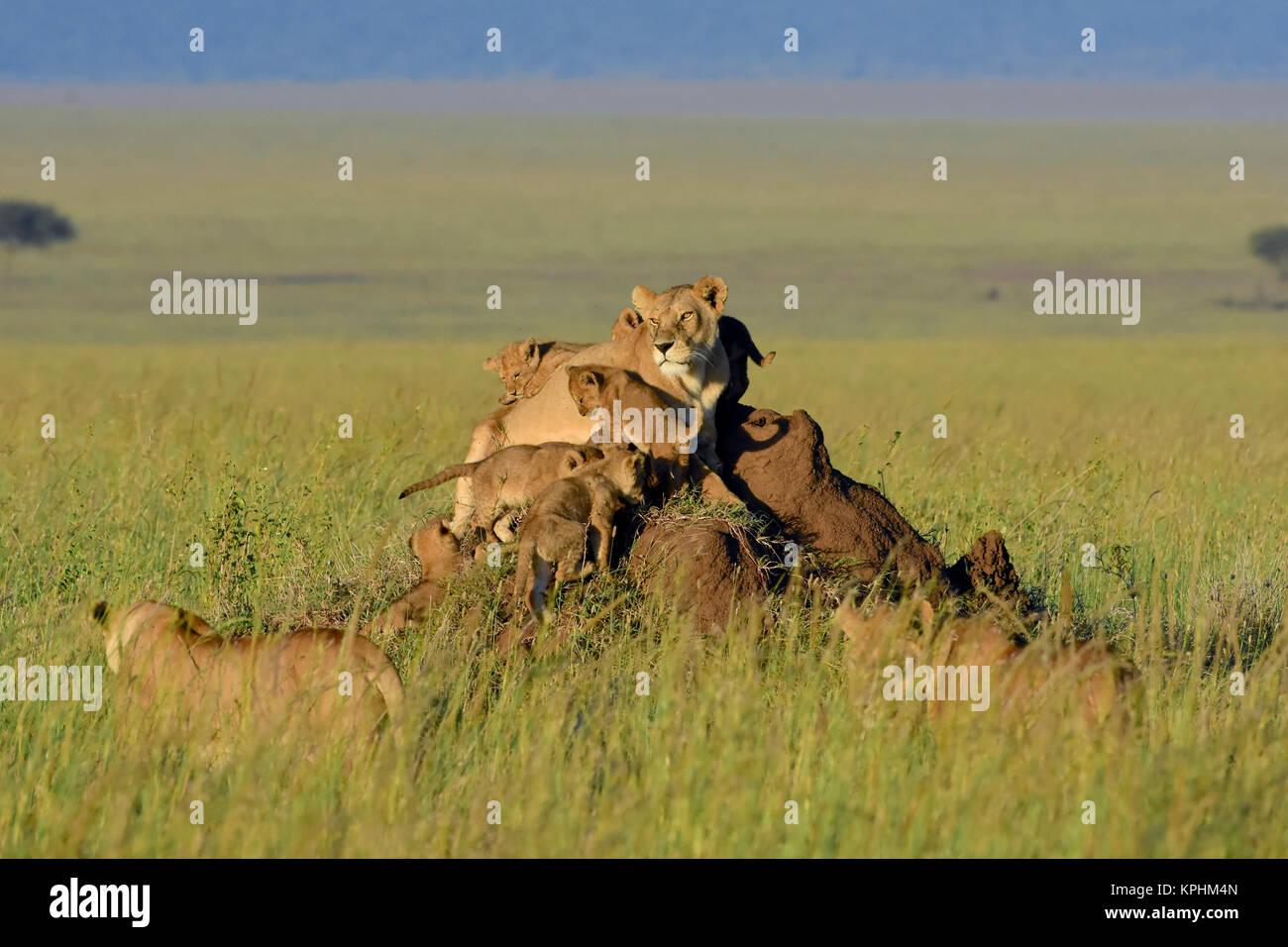 Lioness with cubs resting on anthill on grassland plains of Maasai Kopjes near Seronera, Serengeti, Tanzania - Stock Image