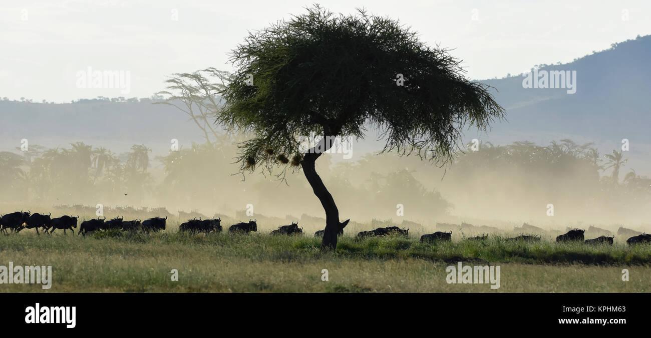 wildebeest migration at Seronera, Serengeti, Tanzania. - Stock Image