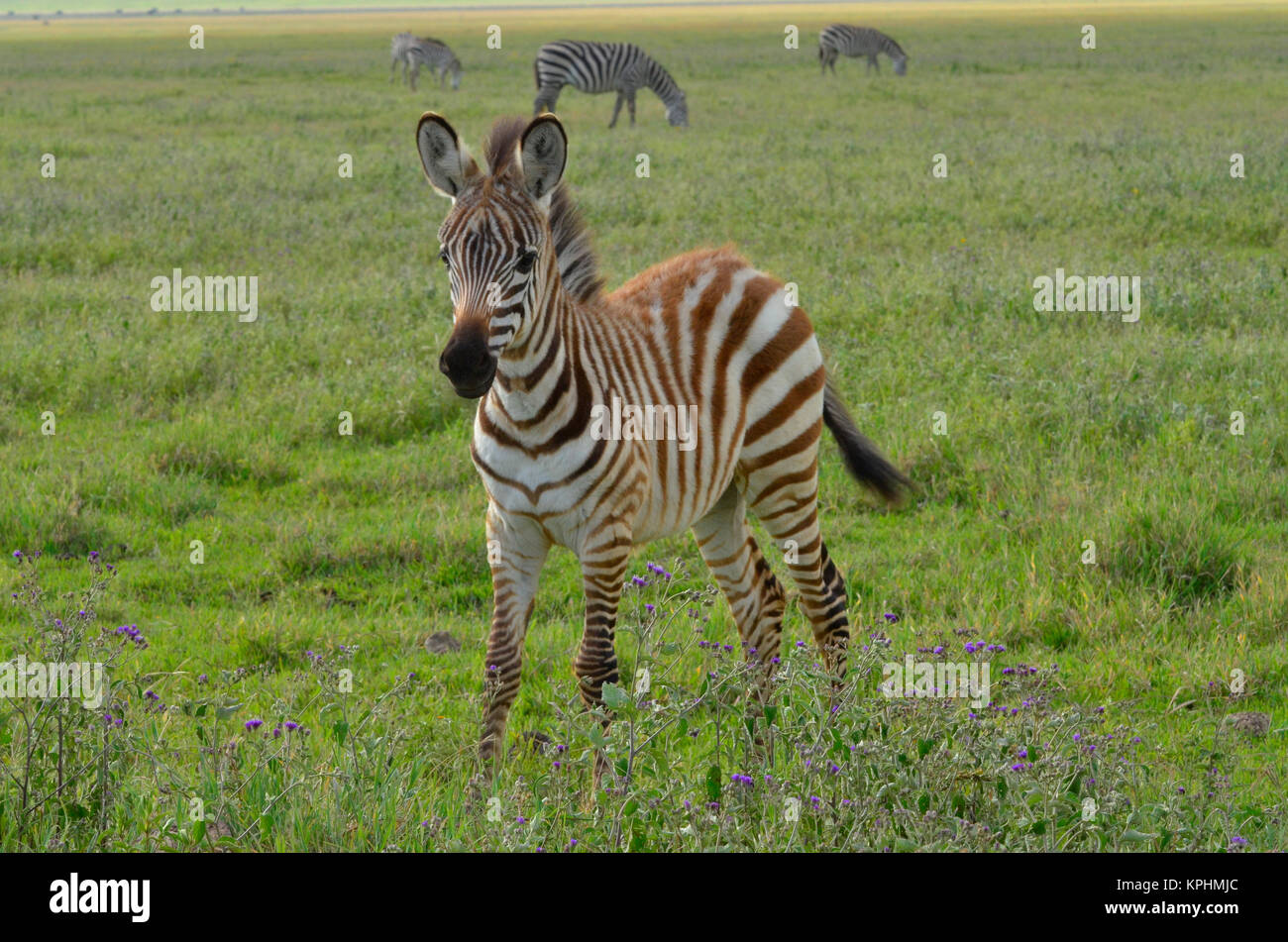 Ngorongoro crater, a World Heritage Site in Tanzania. Incredible wildlife variety for enjoyment by tourists. Landscape - Stock Image