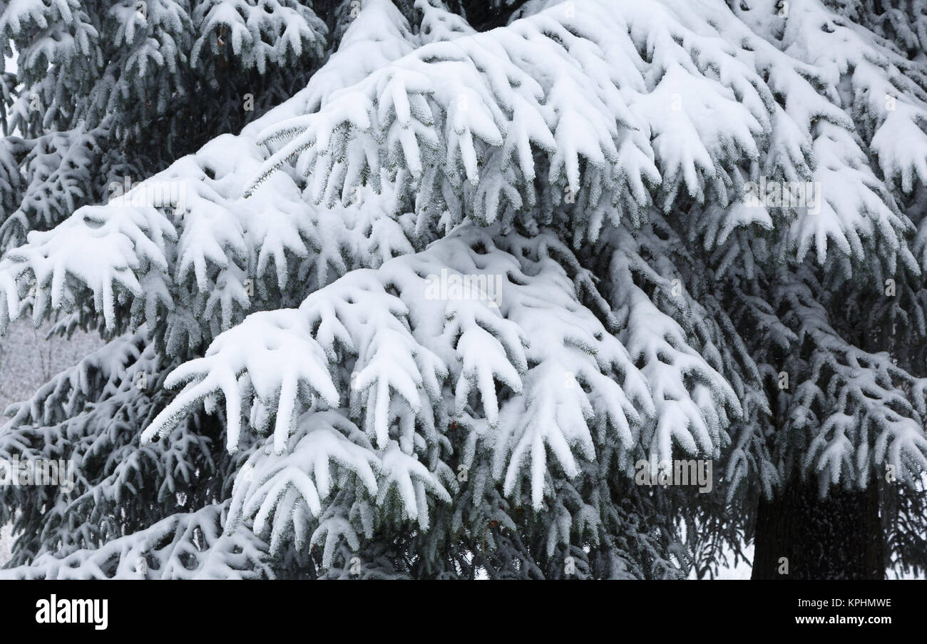 Snow resting on spreading conifer branches, Monmouthshire, South Wales, UK - Stock Image