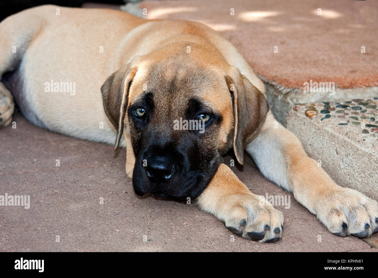 USA, California. Mastiff puppy lying on cement looking up at you. - Stock Image