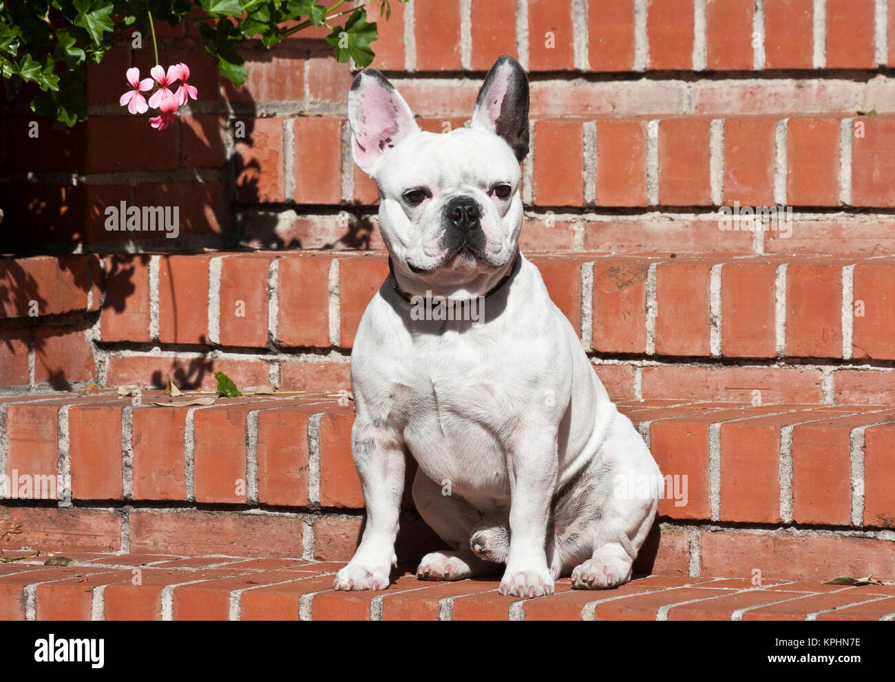 A French Bulldog sitting on a red brick stairway. - Stock Image