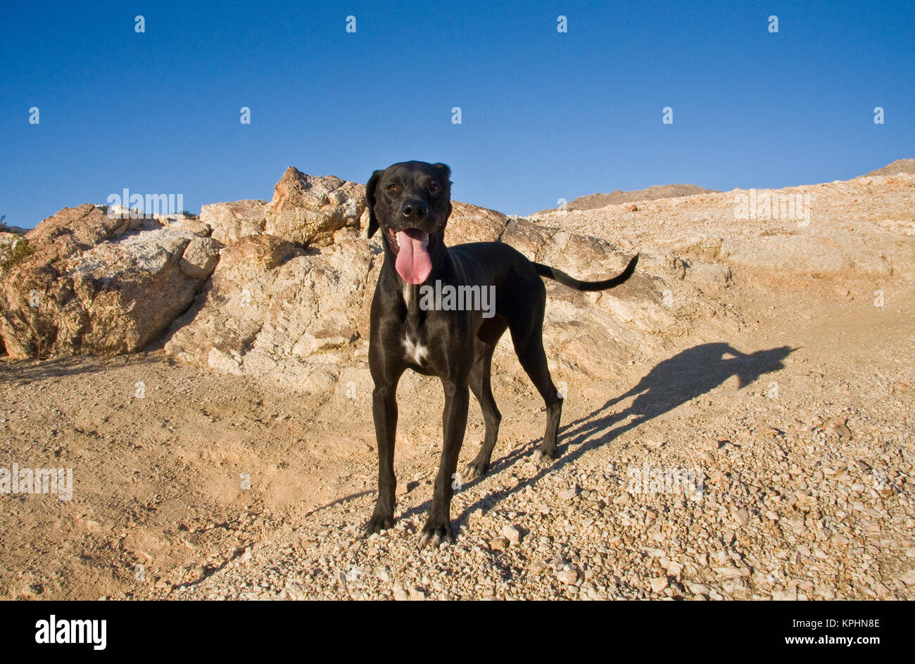 A black German Shorthaired Pointer standing on a rocky hill. - Stock Image