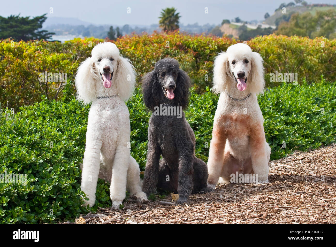 USA, California. Three Standard Poodles sitting together all looking at you. - Stock Image