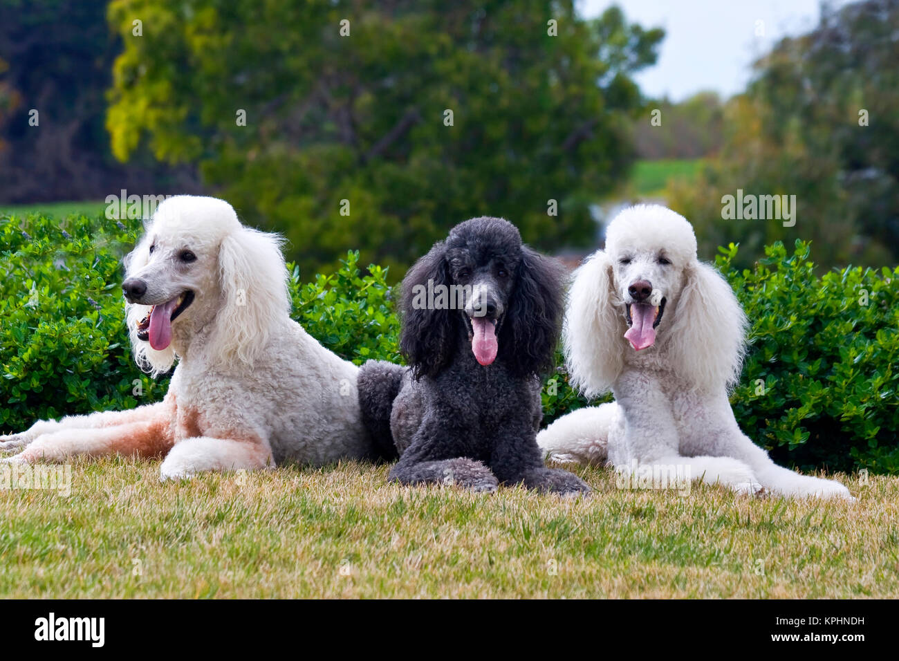 USA, California. Three Standard Poodles posing together on a lawn. - Stock Image