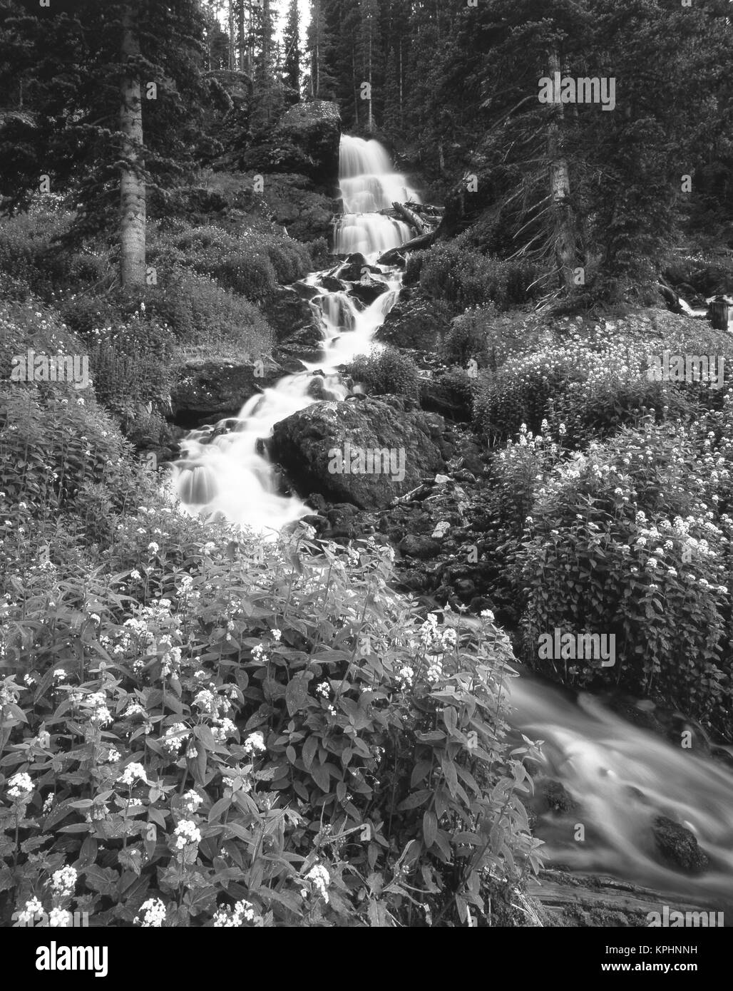 Stream lined with Bitter Cress (Cardamine cordifolia) and mountain Bluebells (Mertensia ciliata) (Large format sizes - Stock Image