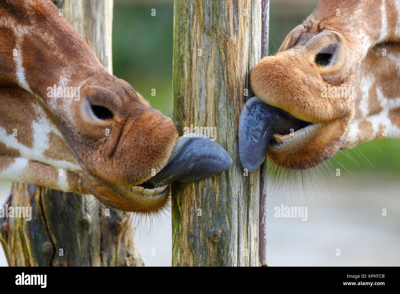 a wooden pole is licked clean by two giraffes - Stock Image