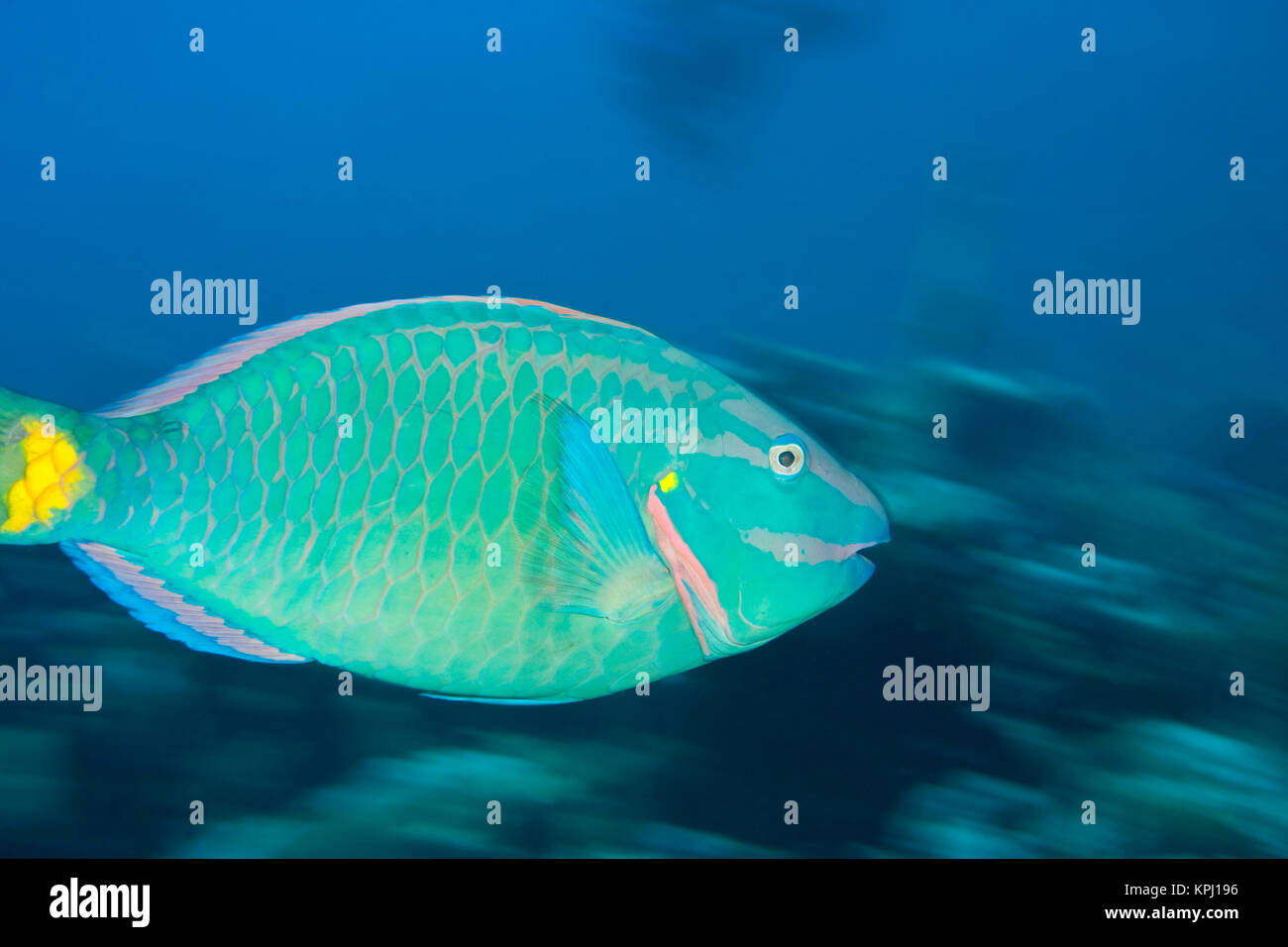 Stoplight Parrotfish (Sparisoma viride), North Side of Utila, Bay Islands, Honduras, Central America - Stock Image