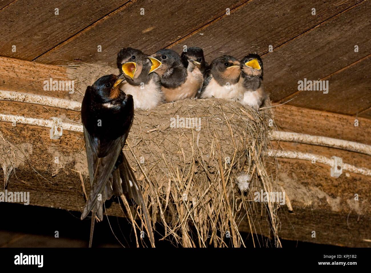 Rauchschwalbe, Rauch-Schwalbe, Rauch - Schwalbe, Altvogel füttert Küken in ihrem Lehmnest, Nest, Hirundo rustica, Stock Photo