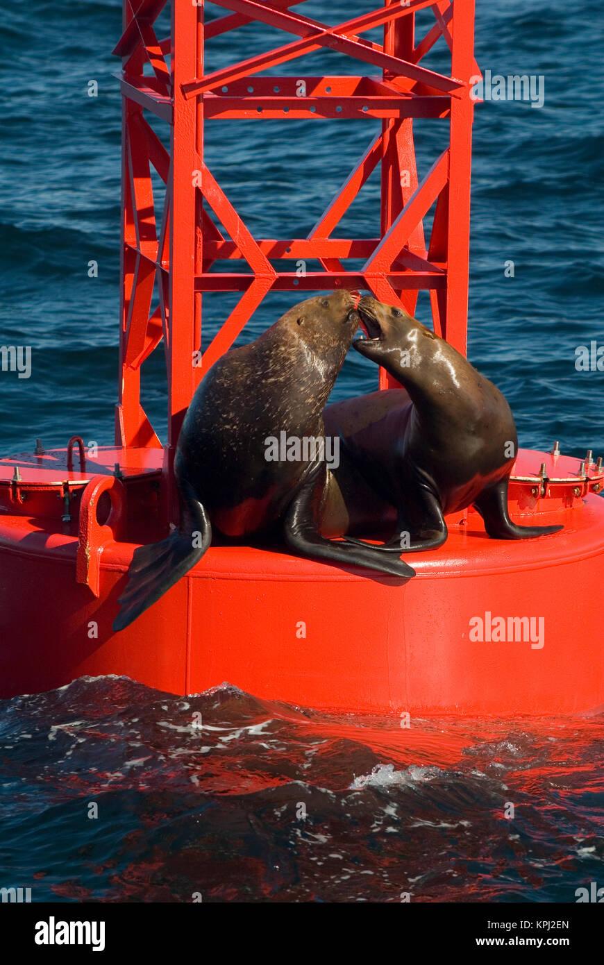 North America, USA, AK, Inside Passage.  Stellar Sea Lions playful on channel marker buoy - Stock Image