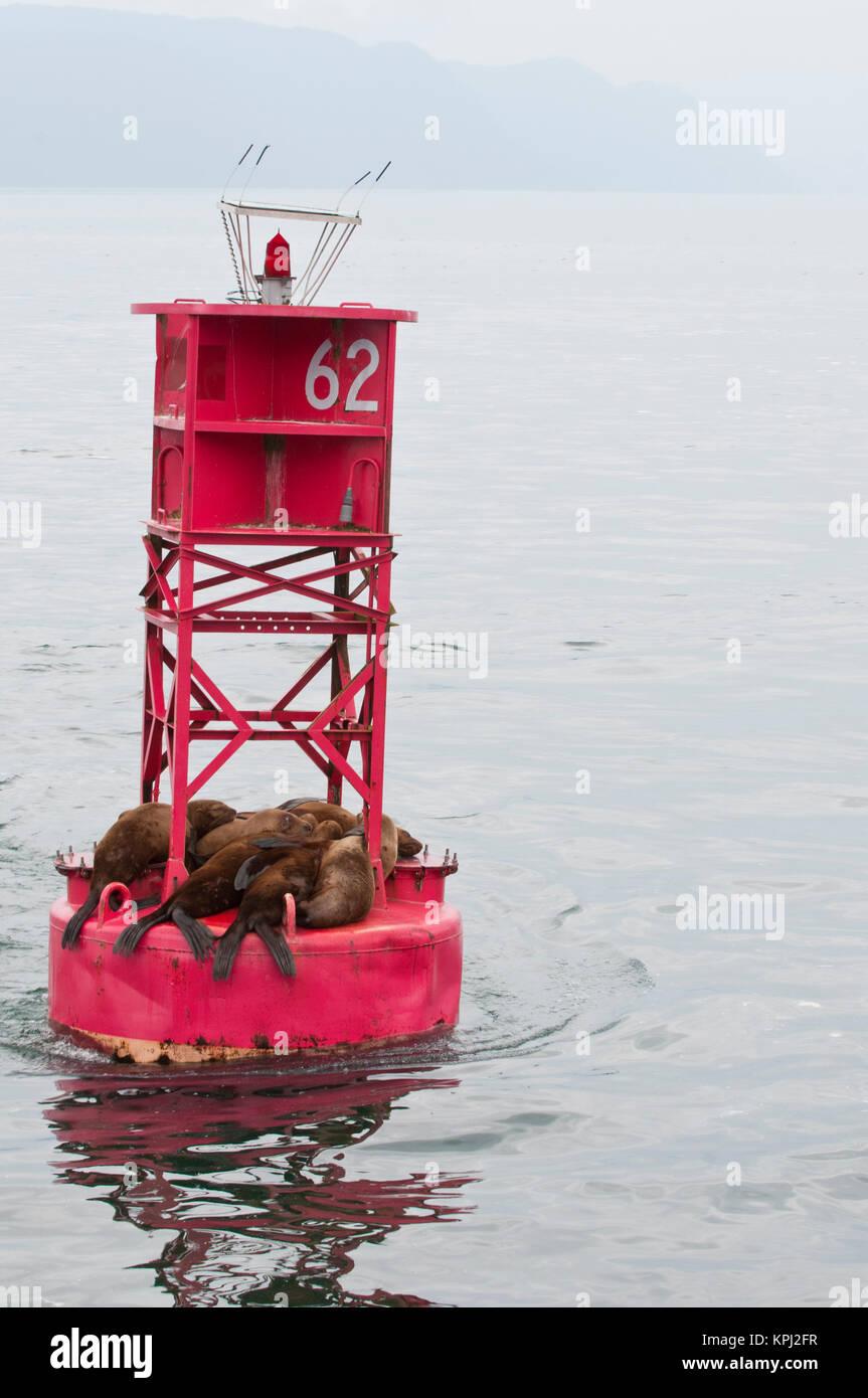 US, AK, Inside Passage. Stellar Sea Lions (Eumetopias jubatus) crowd on to channel marker. - Stock Image