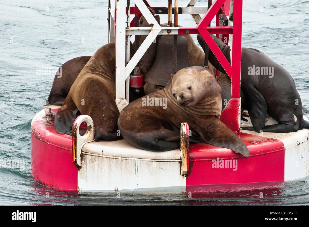 US, AK, Inside Passage. Stellar Sea Lions (Eumetopias jubatus) crowd on to navigation buoy. - Stock Image