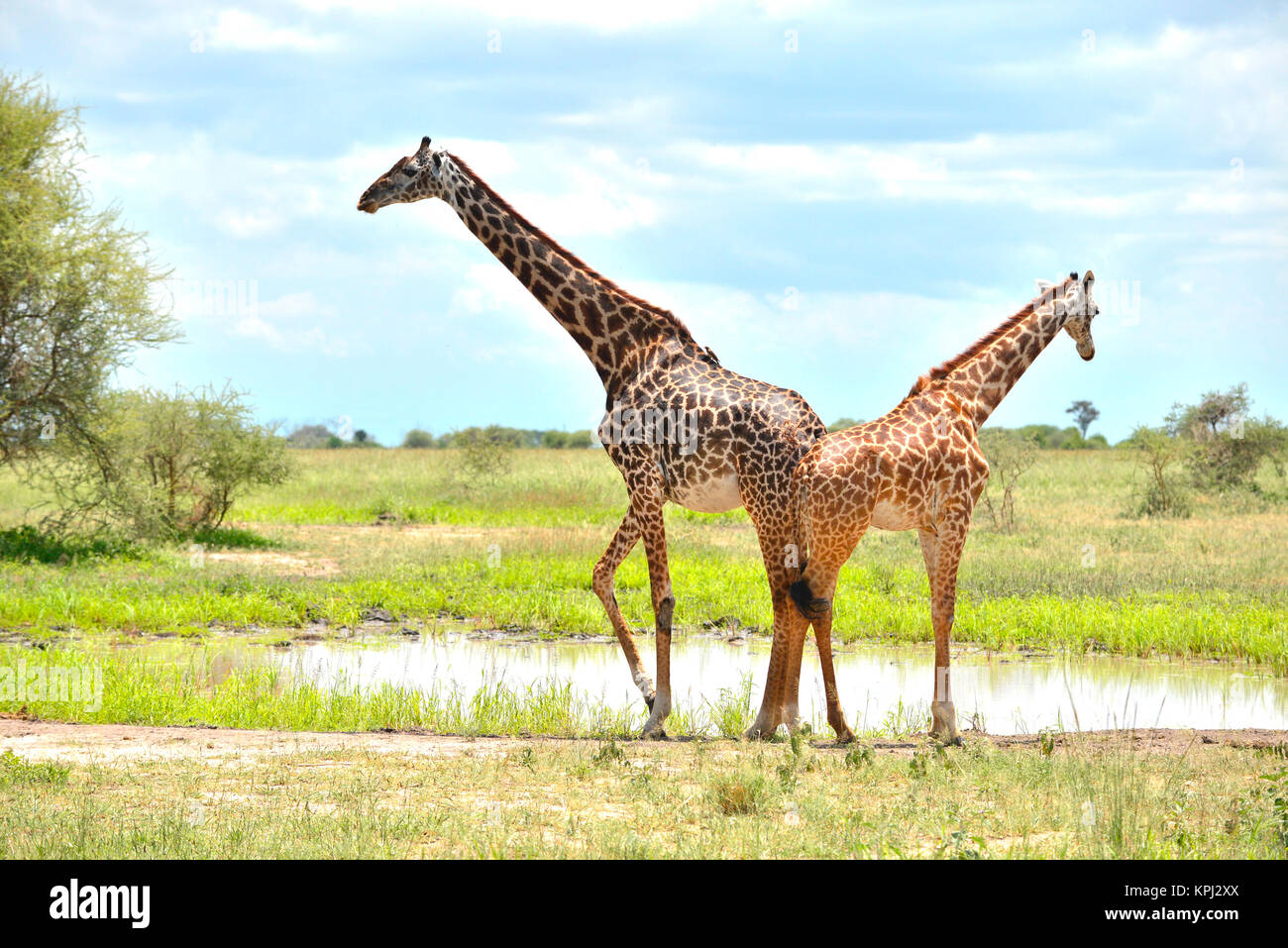 Tarangire national park in Tanzania is an undiscovered jewel with beautiful scenery along the Tarangire river. Giraffe - Stock Image