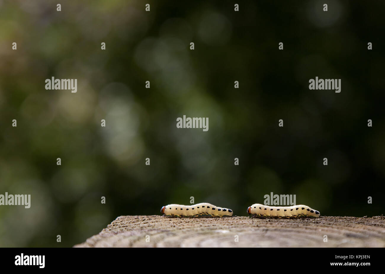 Two caterpillars on a wooden post - Stock Image