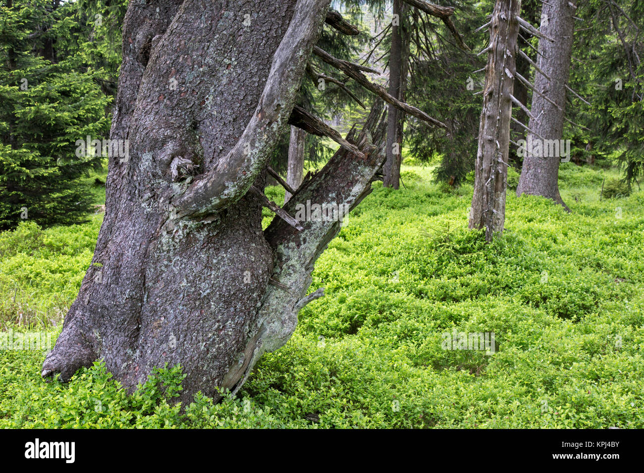 Spruce trees in ancient coniferous forest in the Harz National Park, Saxony-Anhalt, Germany - Stock Image