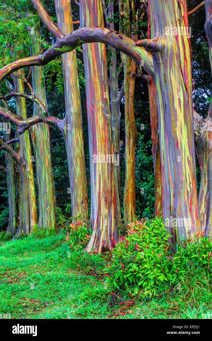 USA, Hawaii, Maui, Rainbow Eucalyptus Trees (Eucalyptus deglupta) - Stock Image